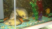 Два аквариума по 250л каждый в стойке(белое ДСП)
