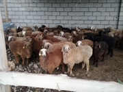 продаю баранов в Астане