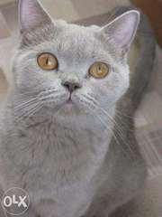 Британские короткошерстные плюшки котята