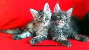 Котята мейн-кун- ваша радость и любовь