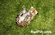 Продаются котята Домашнего сервала