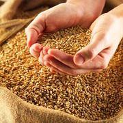 Продам пшеницу мягкую,  продовольственную 3 класса