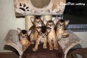 Котята Абиссинской породы.
