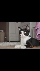 Отдается котенок-мальчик,  3-4 месяца. Черно белый окрас.