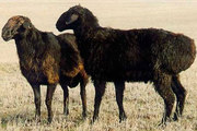 Продам баранов курдючных пород
