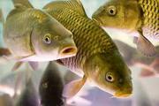 Рыбодобывающая компания продастРыбу Стерлядь Лещ Жерех Судак Сом Сазан