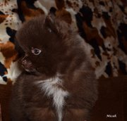 Шоколадная Щенки Шпиц
