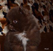 Шоколадная Щенки померанского
