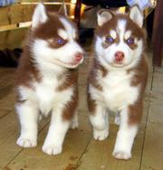Шоколадная девочка Хаски с голубыми глазами