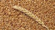 Продам пшеницу 3 класс СРОЧНО ТОРГ