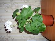 Цветок пеларгонии как подарок