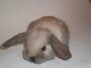 Вислоухие карликовые мини крольчата